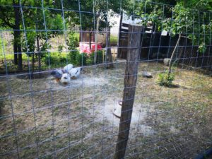 Rural Romania Chicken