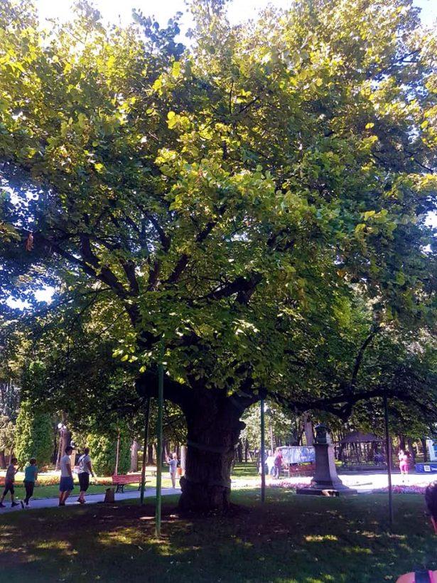 Eminescu's Linden tree in Copou Park