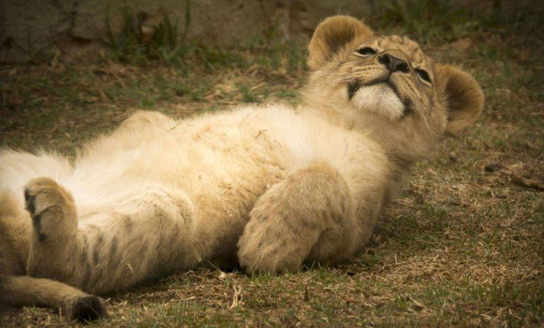 lion cub timisoara zoo