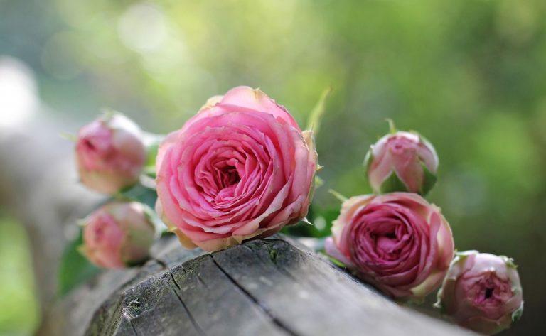 roses timisoara